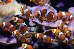 Clown fishes Royalty Free Stock Image