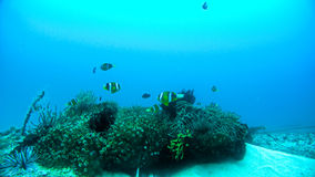Clown Fishes bij onderwaterkoraalrif stock foto's