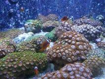 Clown Fishes en anemoon Stock Afbeeldingen