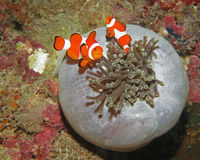 Clown Fishes med anemonen (Moalboal - Filippinerna) Royaltyfri Bild