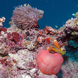 Clown Fishes Nested in Purple Anemones Royalty Free Stock Images