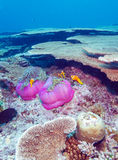 Clown Fishes Nested in Purple Anemones Stock Images