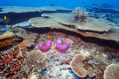 Clown Fishes Nested in Purple Anemones Stock Photos