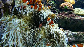 Clown fishes playing among anemone stock video footage