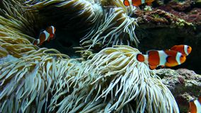 Clown fishes playing among anemone. Inside Vancouver aquarium stock video footage