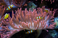Clown fishes and sea anemone. Clown fishes swimming around a pink sea anemone stock photography