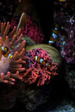 Clown fishes and sea anemone Stock Image