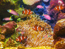 Clown fishes underwater Royalty Free Stock Images