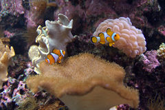 Clown Fishes With Water Anemone Stock Photo
