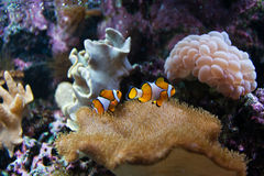 Clown Fishes With Water Anemone Royalty Free Stock Image