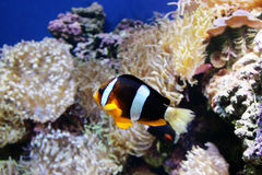 Clown Fishy. A Black and white fish swiming in a reef Stock Photography