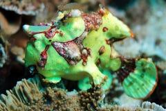 Clown Frogfish Stock Afbeelding