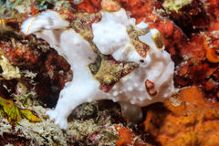 Clown Frogfish Stock Photos