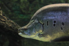Clown knifefish Stock Photo