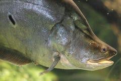 Clown knifefish Royalty Free Stock Photos