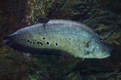 Clown knifefish (Chitala ornate) Stock Photo