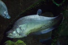 Clown knifefish & x28; Chitala ornate& x29; royalty-vrije stock afbeeldingen