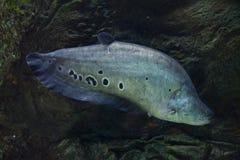 Clown knifefish & x28; Chitala ornate& x29; stock afbeeldingen