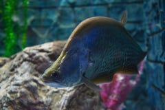 Clown knifefish Stock Photography