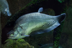 Clown knifefish (Chitala ornate) Royalty Free Stock Image