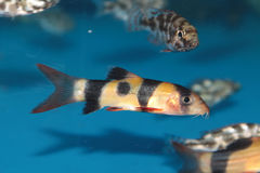 Clown loach (Botia macracantha) freshwater aquarium fish Royalty Free Stock Photo