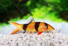 Clown loach tiger botia catfish Botia macracanthus Royalty Free Stock Images