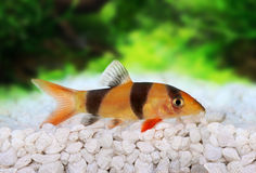 Clown loach tiger botia catfish Botia macracanthus Stock Image
