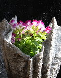Clown plant. Purple clown plant in a planter Stock Photography