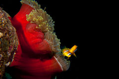 Clown red fish in red anemone in the black background. Clown red fish in red anemone in the black night dive background stock photo