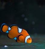 Clown saltwater fish
