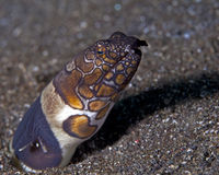 Clown snake eel Royalty Free Stock Photos