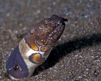 Clown snake eel Royalty Free Stock Photos
