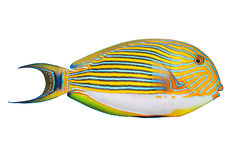 The Clown Surgeonfish (Acanthurus lineatus). Royalty Free Stock Image