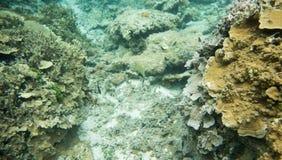 Clown Surgeonfish: Dravuni ö Royaltyfri Foto