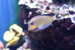 Clown surgeonfish Stock Images