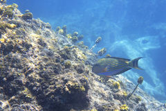 Clown surgeonfish in Indian Ocean near Seychelles Royalty Free Stock Images