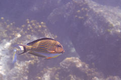 Clown surgeonfish in Indian Ocean near Seychelles Stock Images