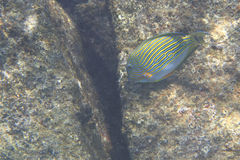 Clown surgeonfish in Indian Ocean near Seychelles Royalty Free Stock Photography