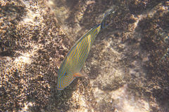 Clown surgeonfish in Indian Ocean near Seychelles Stock Photography