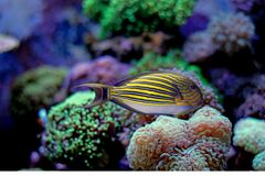 Clown Tang - Acanthurus lineatus. The Clown Tang, also known as the Clown Surgeonfish, Lined Surgeonfish, or Blue-banded Surgeonfish, has horizontal blue stock photography