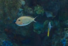 Clown tang fish, Acanthurus lineatus Stock Photos