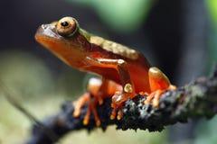 Clown Tree Frog Stock Photo