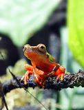 Clown Tree Frog Royalty Free Stock Photography