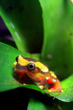 Clown Tree Frog Stock Images