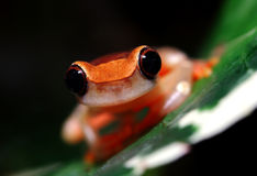 Clown Tree Frog Stock Photos
