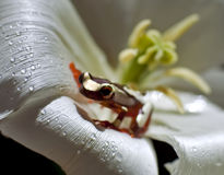 Clown Tree Frog Stock Foto's