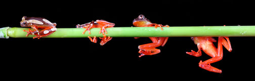 Clown Tree Frogs Stock Image