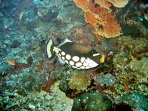 Clown Trigger. Triggerfish species Stock Photography