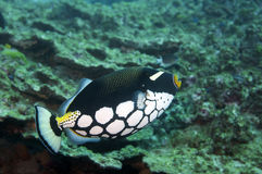 Clown Trigger Fish Royalty Free Stock Images