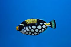 Clown trigger fish Royalty Free Stock Image